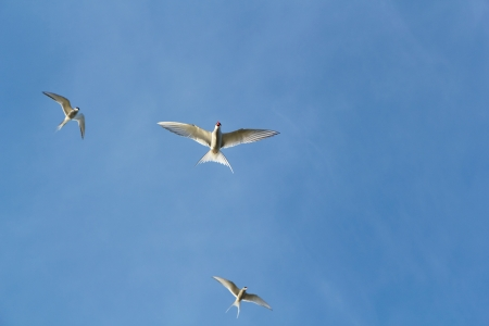 three Arctic terns in flight against a blue sky  bottom view photo