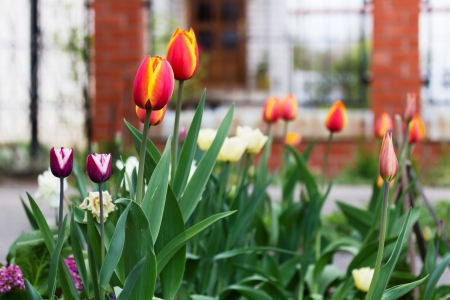 Tulips and other flowers in a spring garden photo