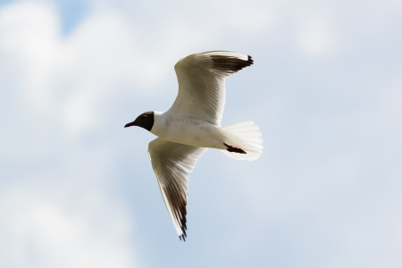 Mediterranean gull in flight close up against the sky photo