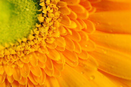 Yellow gerbera flower closeup with water droplets on the petals. macro photo photo