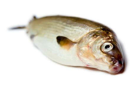fresh fish on a white background.  photo