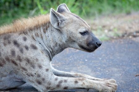 kruger national park: Spotted Hyena. South Africa, Kruger National Park.