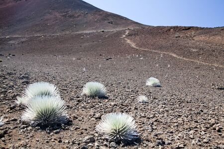 Silversword, Haleakala National Park, Maui, Hawaii
