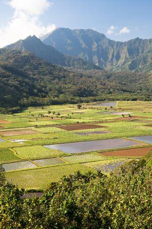 kauai: Taro plantation in Hanalei National Wildlife Refuge, Kauai, Hawaii