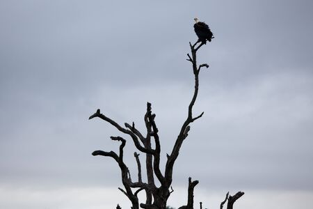 white headed: White-headed Vulture on bare tree trunk. South Africa, Kruger National Park.