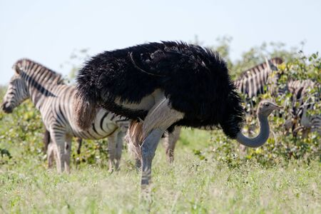 burchell: Burchell s Zebras and Ostrich. South Africa, Kruger National Park.