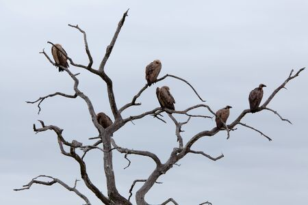 White-backed Vultures on bare tree trunk. South Africa, Kruger National Park.