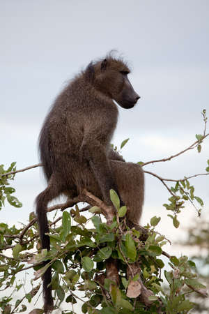 Olive Baboon on the tree. South Africa, Kruge National Park.