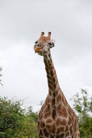 Beobachtung Giraffe. Südafrika, Kruger National Park. Standard-Bild - 39109681