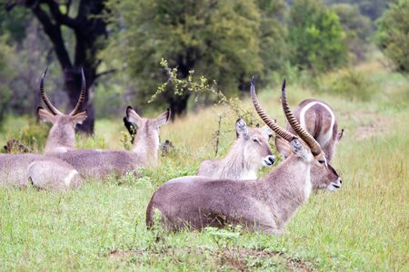 Flock of Waterbuck antelopes. South Africa, Kruger National Park.