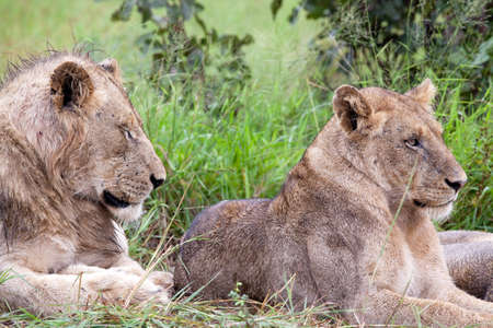 Lion couple in the bush. South Africa, Kruger National Park.