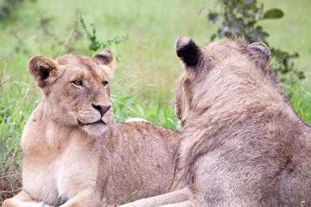 Lion Paar in den Busch. Südafrika, Kruger National Park. Standard-Bild - 39109688