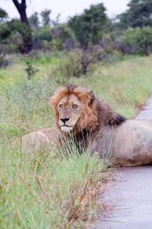 Männlicher Löwe im Busch. Südafrika, Kruger National Park. Standard-Bild - 39109690