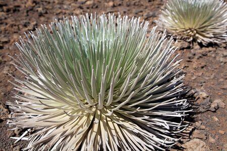 Silversword, Haleakala National Park, Maui, Hawaii Standard-Bild - 39489103