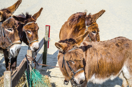 Four gorgeous domesticated asses, asses in a harness strapped to a wooden beam, hay and sand