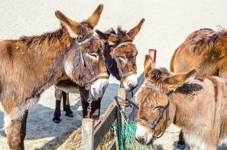 Four gorgeous domesticated asses, asses in a harness strapped to a wooden beam, animals