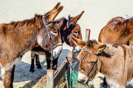 gorgeous domesticated asses, asses in a harness strapped to a wooden beam, hot day