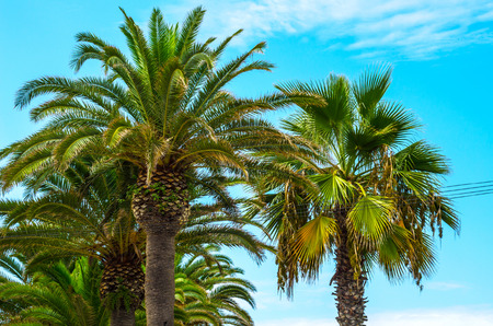 beautiful spreading palm tree on the beach, exotic plants symbol of holidays, hot day, big leaves, exotic tree Stock Photo