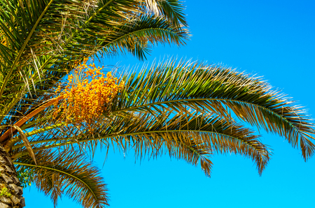Beautiful spreading palm tree over the blue sky background, exotic plants symbol of holidays, hot day, big leaves, exotic tree