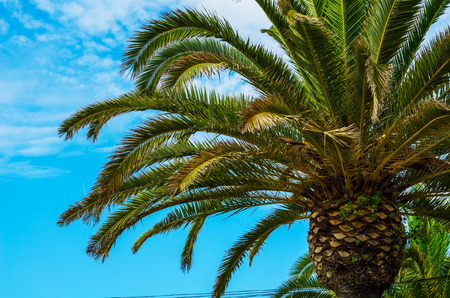beautiful spreading palm tree on the beach, exotic plants symbol of holidays, hot day, big leaves, exotic tree Imagens