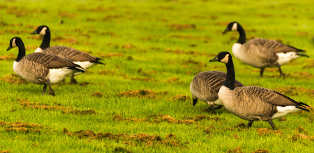 Wild geese on the meadow nibbling the grass, green juicy grass, wild birds
