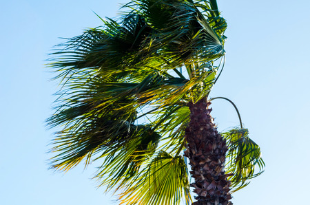 Beautiful spreading palm tree, exotic plants symbol of holidays, hot day, big leaves, exotic tree