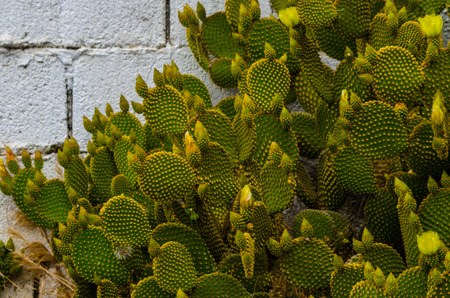 Wild green cactus in Andalusia, plants typical for dry tropical climate, nature