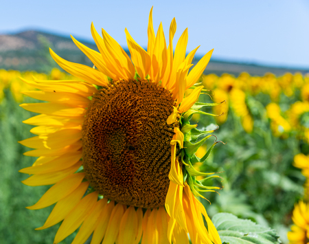 The flowers of a sunflower on a field full of flowers, beautiful yellow plants, nature 版權商用圖片