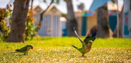육즙이 많은 녹색 잔디에 녹색 앵무새, 도시의 공원에서 야생 조류, 동물 군 스톡 콘텐츠 - 106957042
