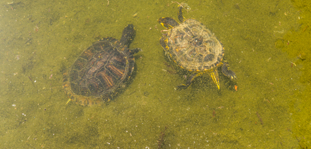 Water turtle in a dirty pond in a city park, wild animal living in an aquatic environment, nature Stock Photo