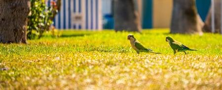 육즙이 많은 녹색 잔디에 녹색 앵무새, 도시의 공원에서 야생 조류, 동물 군 스톡 콘텐츠 - 106957338