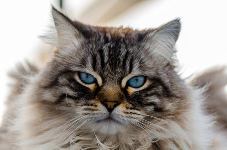 beautiful long-haired cat with blue eyes sitting outside, domestic animal