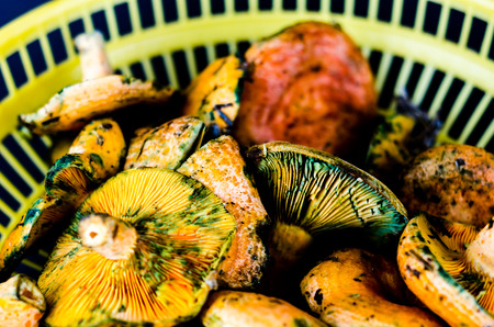 Bloody milk cap (Lactarius sanguifluus) mushrooms, famous mushrooms from the south of Europe, forest products Imagens