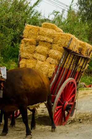ALMAYATE, SPAIN - APRIL 21, 2018 Contest in the Andalusian town of Almayate based on showing the skills of driving oxen with a cart by coachmen Redakční