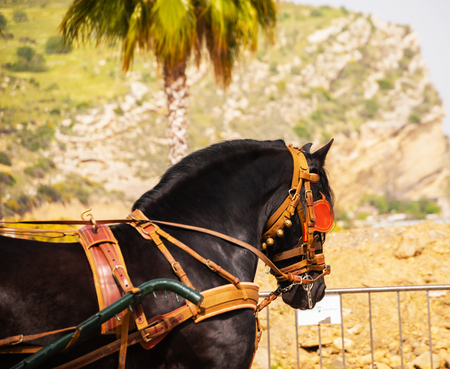 Closeup on horse in a harness during a riding show in a tourist town
