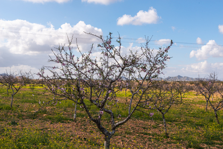 Blooming almond trees with pink and white flowers in a Spanish orchard, orchard industry 写真素材