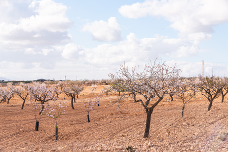 Blooming almond trees with pink and white flowers in a Spanish orchard, orchard industry Stockfoto
