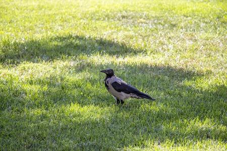 Magpie walks around the lawn looking around Stock Photo