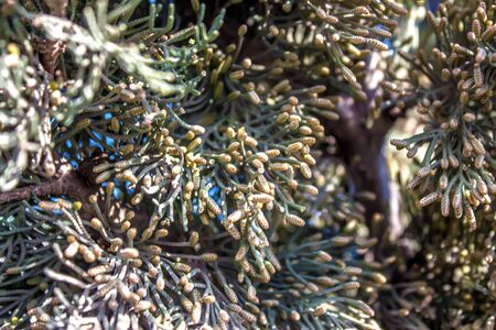 Kipsin branch of the cedar tree. Kucha Quaidzalisa is an evergreen coniferous tree in the family of cypress trees. Macro of cypress branch with cones. Coniferous Cypress Seeds on a green background. Reklamní fotografie
