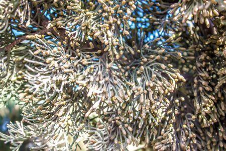 Kipsin branch of the cedar tree. Kucha Quaidzalisa is an evergreen coniferous tree in the family of cypress trees. Macro of cypress branch with cones. Coniferous Cypress Seeds on a green background.
