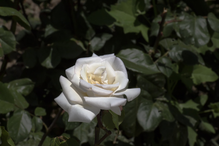 Beautiful blooming rose on a green background blur. Soft selective focus. Closeup Image. Imagens