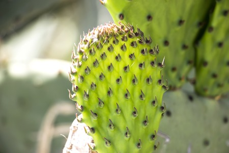 Fresh cactus close-up. Green vegetative cactus with spines. Imagens