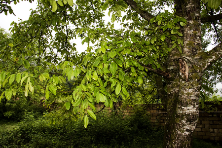 Green leaves from the trees under a bright blue sky, leaf canopy