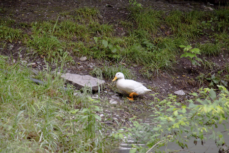 A wild white duck walking by the lake