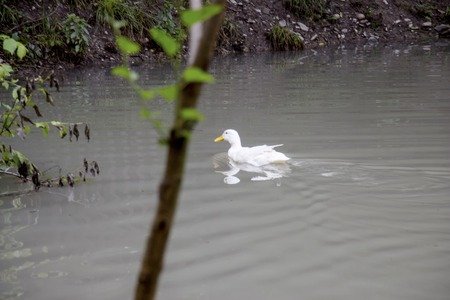 White duck swimming in the lake. White duck on the water