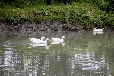 White ducks swimming in the lake. White ducks on the water