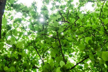 hazel branches: Green foliage of hazelnut tree
