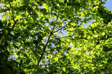 hazelnut tree: Green foliage of hazelnut tree