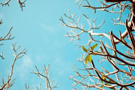 kamboja: Plumeria tree composite with a blue sky