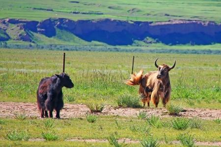 rutting: Rutting yak